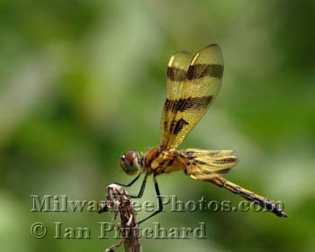 Photograph of Dragonfly from www.MilwaukeePhotos.com (C) Ian Pritchard
