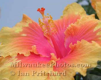 Photograph of Hibiscus from www.MilwaukeePhotos.com (C) Ian Pritchard